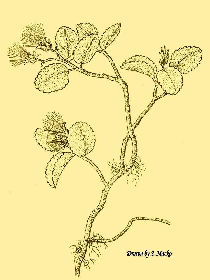 Plants of Karkonosze...