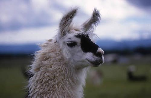 Camelidae (including Llamas)