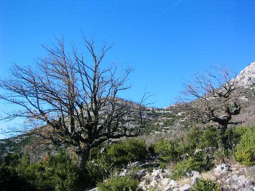 Stanici village - oaks