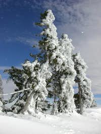 Trees at Baldy Notch