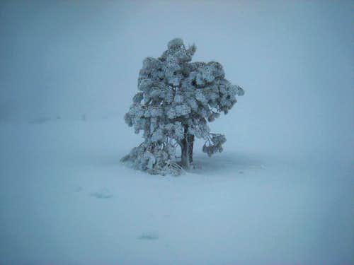 Frosty Tree in Baldy Bowl