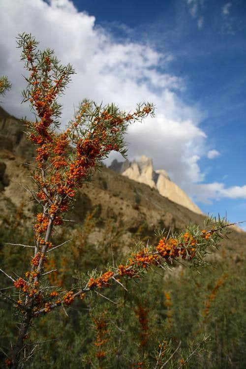 Wild Tree & High Mountains, Baltoro, Karakoram, Pakistan