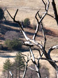 Woodpecker on Stonewall Peak