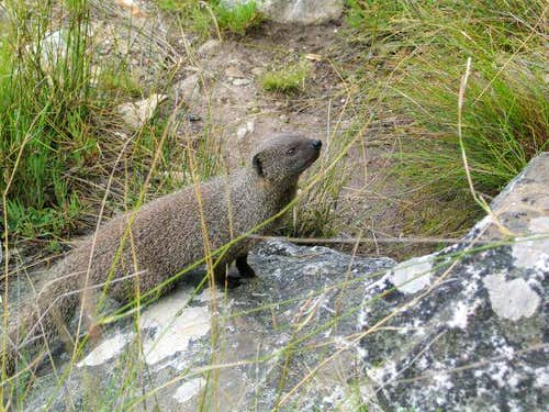 Inquisitive mongoose