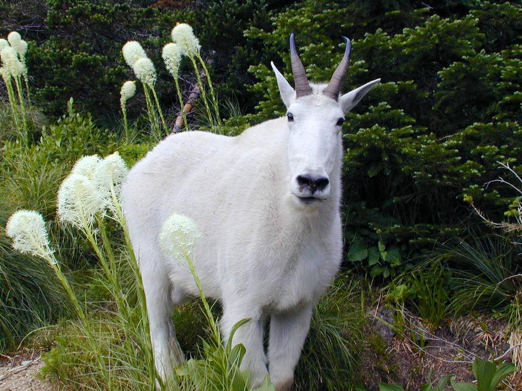 Hidden Lake goat(GNP)