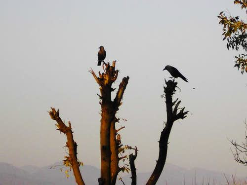 Crows waiting for summer