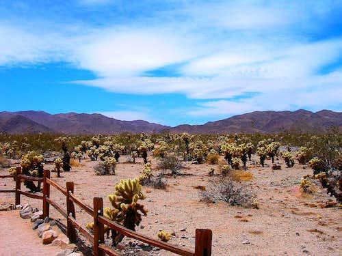 Choia Cacti Garden