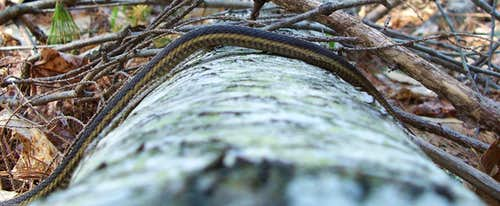Snake traversing a log