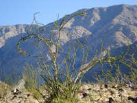 Ocotillo on ascent to Rabbit