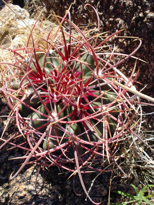 Barrel Cactus found on ascent of Rabbit Peak