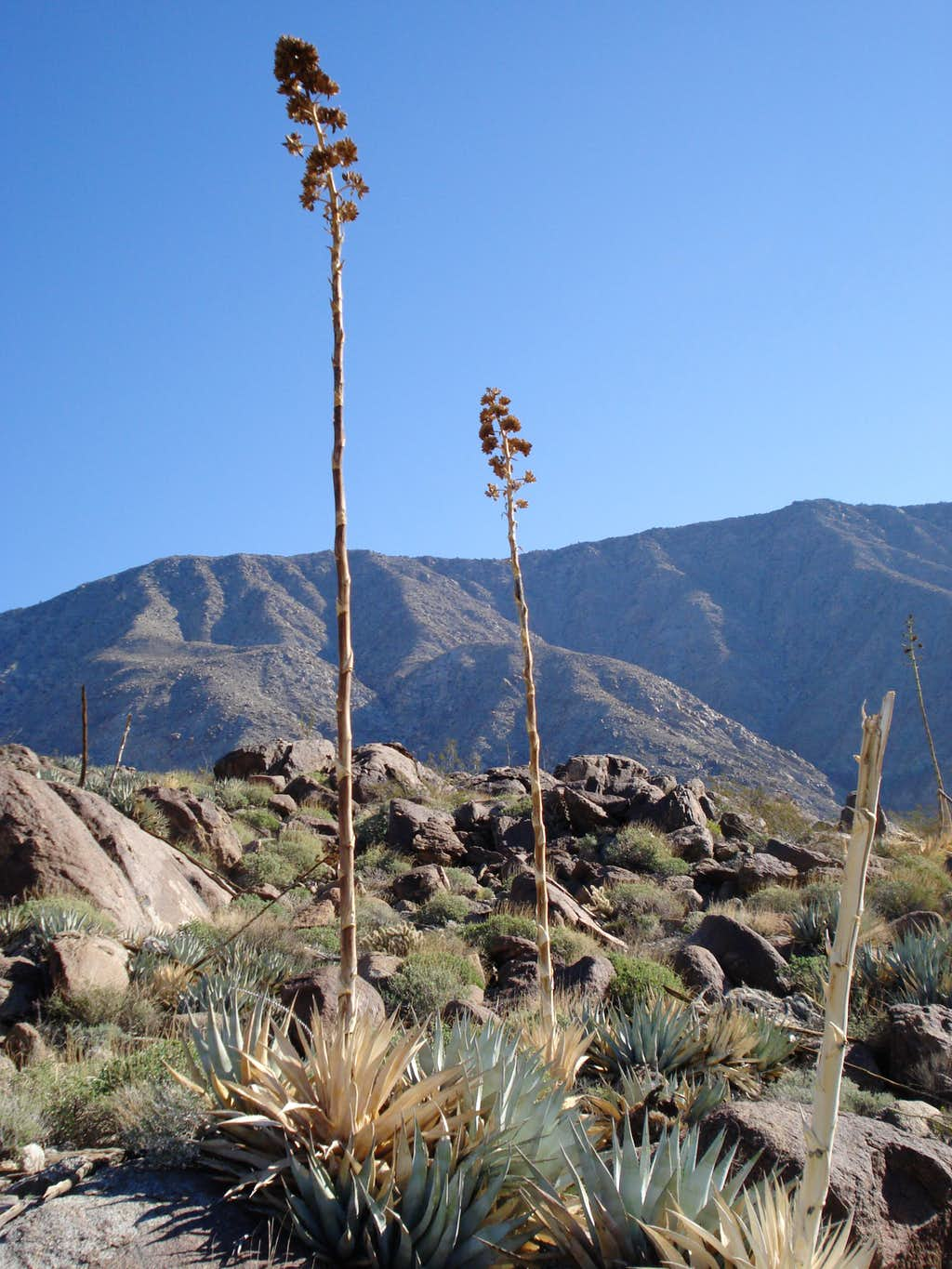 Agave found on the ascent to Rabbit Peak