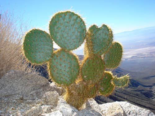 More cacti found on ascent of Rabbit Peak