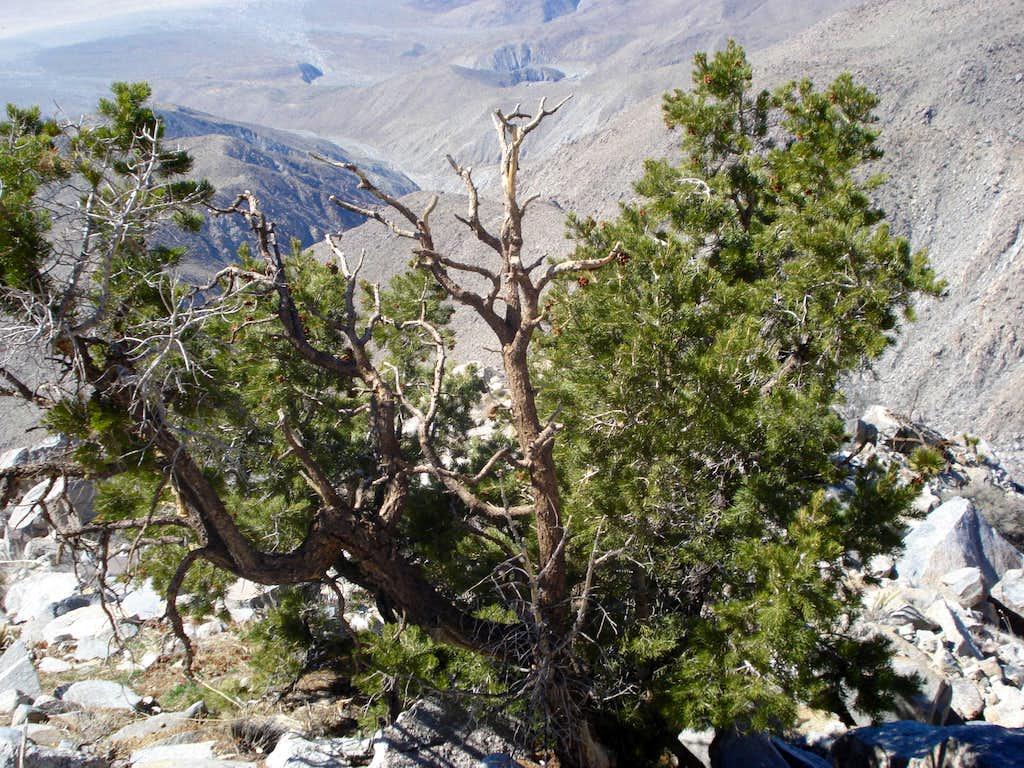 Pinyon Pine enroute to Rabbit Peak