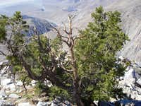 Pinyon Pine enroute to Rabbit Peak