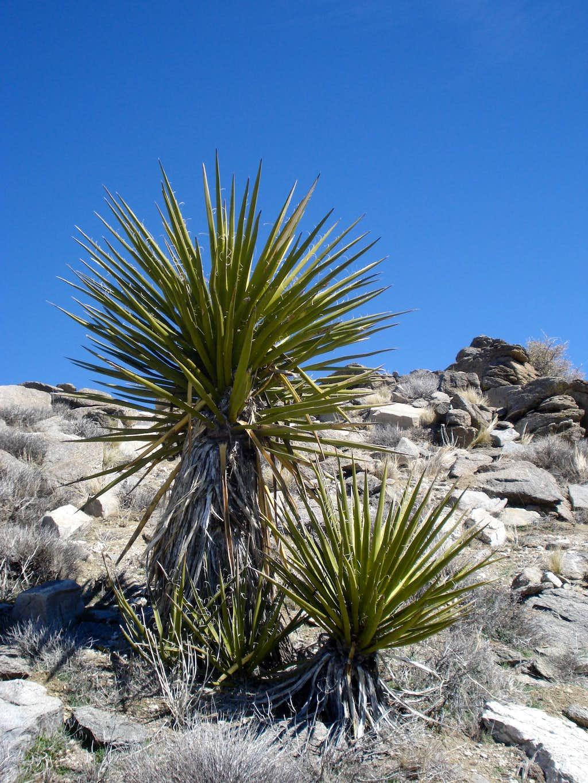 Mojave Yucca near Rabbit Peak