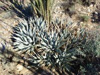 Silver Agave