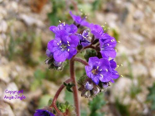 Beautiful Phacelia