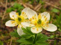 White globeflower