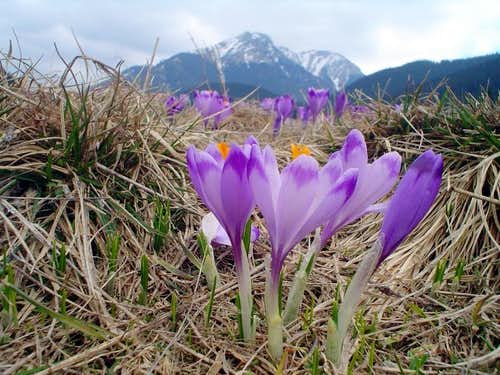 Crocuses in Chocholowska Valley