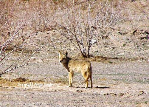 Nevada Coyote