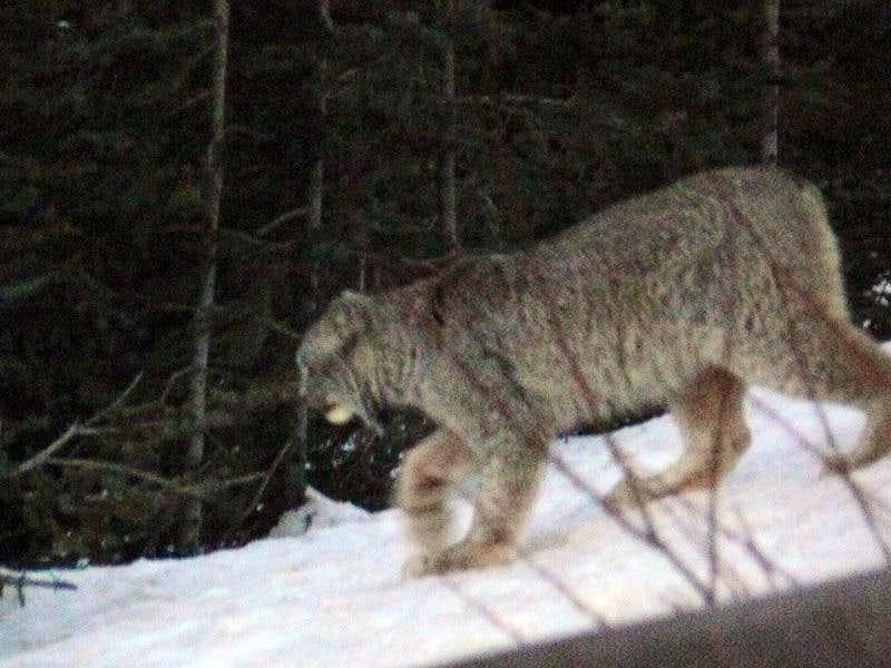 Lynx Along the Highway - Jasper National Park