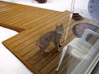 Another Bobcat