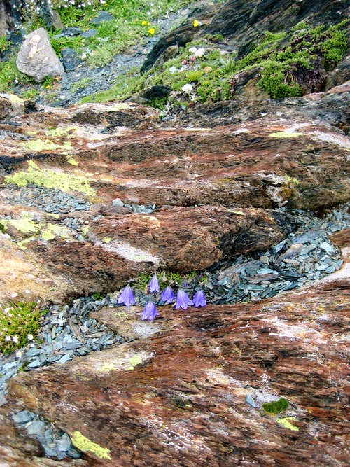 Harebell between coloured rocks