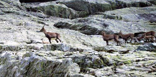 Ibex on the way to the Col de Tsarmine