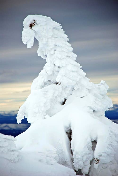 Rime Ice Covered Tree