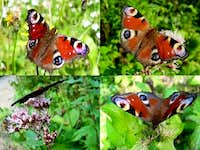 Peacock Butterfly Compilation
