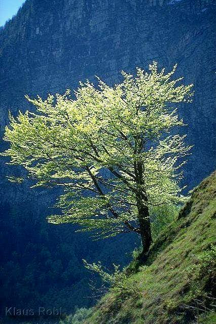 A wonderful beech tree at the...