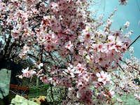 Karakoram Blossom!!