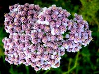 Yarrow Flower Cluster