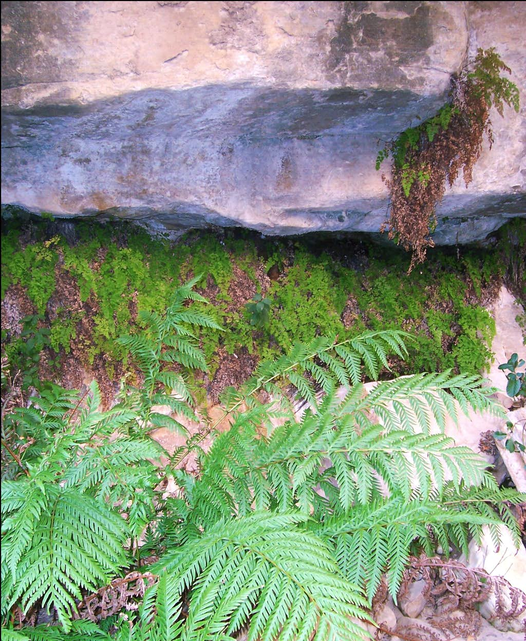 Fern Canyon <font color=green>ferns</font>
