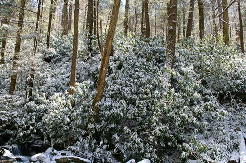 Rhododendrons in Snow