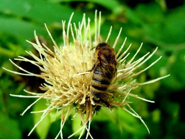 Bee on a flower of Cabbage Thistle