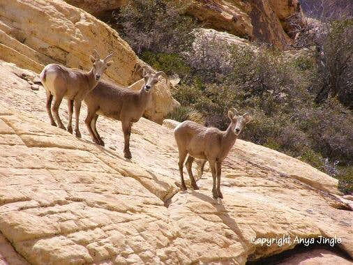 My first encounter with Red Rocks' Bighorn gals this year
