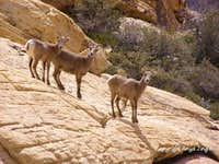 My first encounter with Red Rocks\' Bighorn gals this year