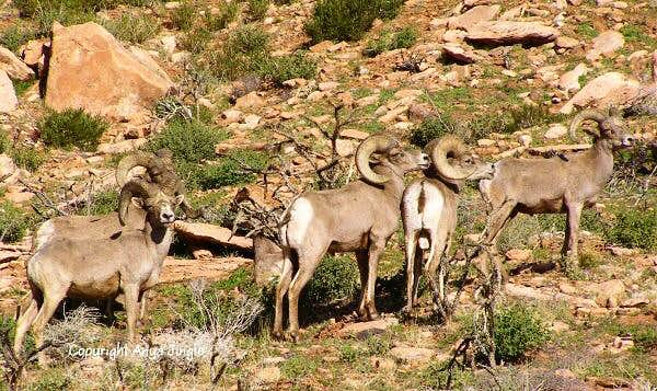 My first encounter with Red Rocks' Bighorns this year
