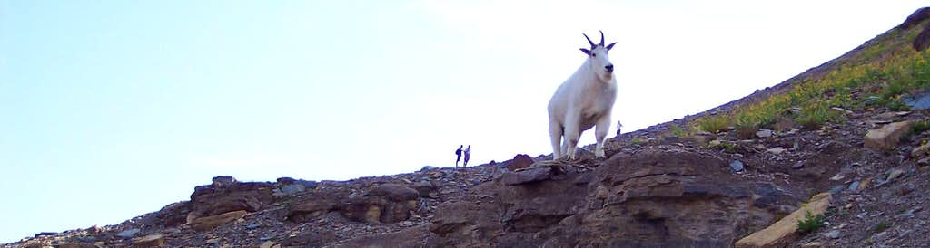 Bearhat's Large Goats