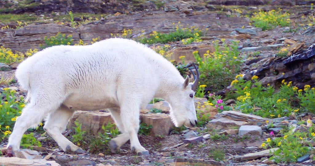 Bearhat Goat