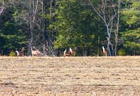 A Family of White Tail Deer