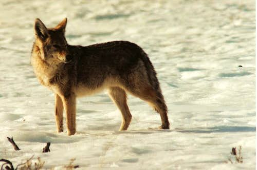Coyote, Lamar Valley