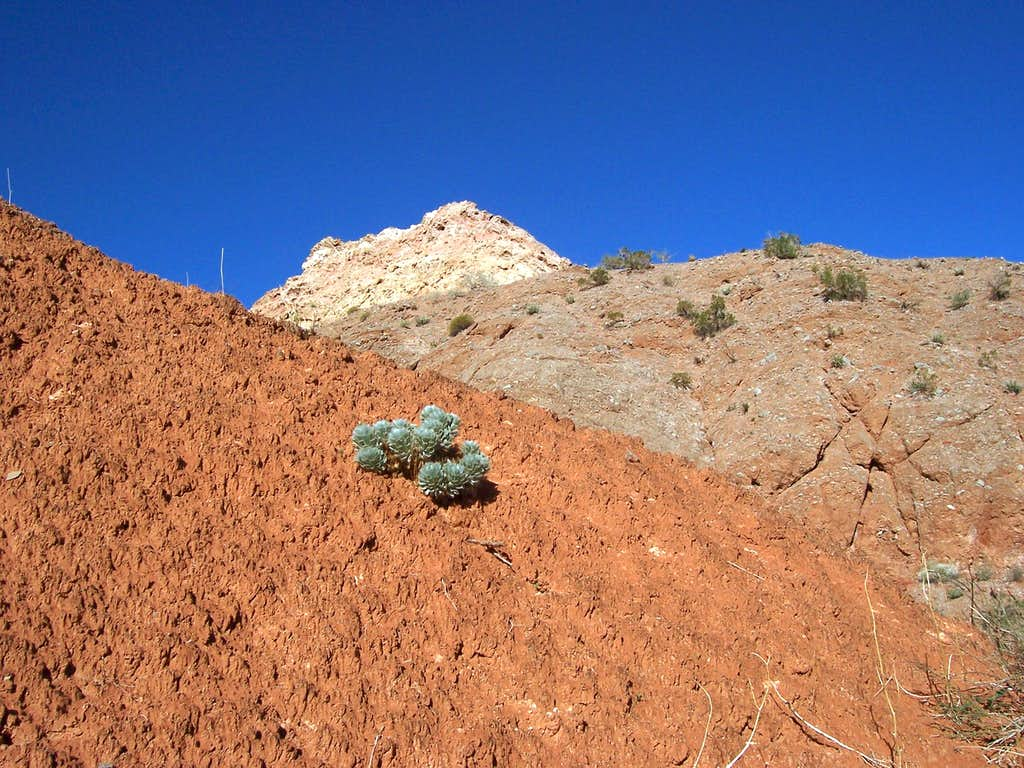 Las Vegas Bearpoppy/Mojave Matrix