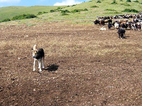Dog & Herd