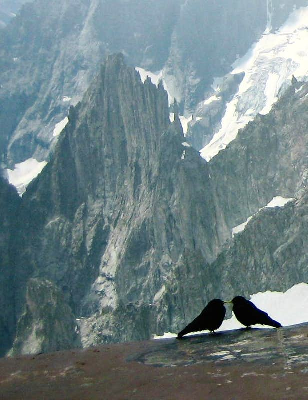 Alpine choughs (Alpendohlen)  in the Mont Blanc Area