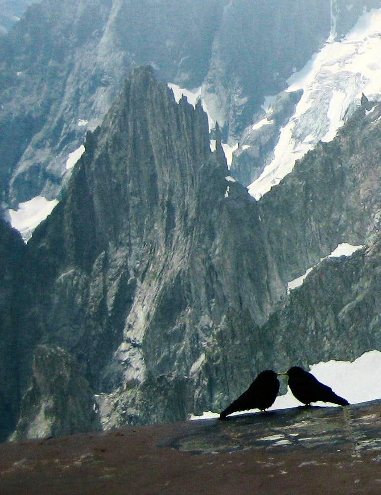Alpine choughs (Alpendohlen)  in the Mont Blanc Area