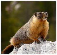 marmot -  murmeltier