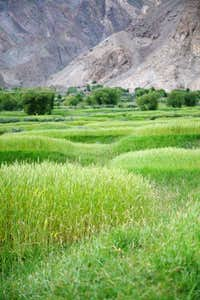 Grain field of Askole Village, Karakoram, Pakistan
