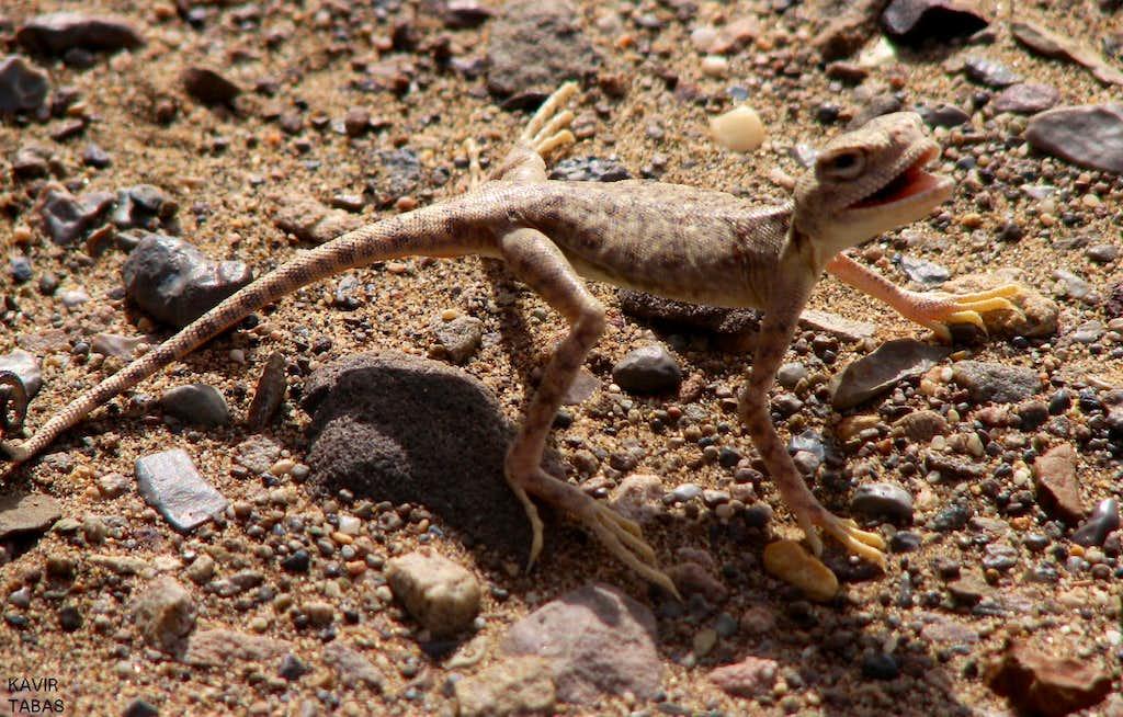 lizard in tabas desert